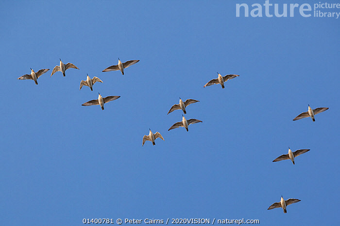 Flock of Knot (Calidris canuta) in flight. The Wash Estuary, Norfolk, October., 2020VISION,BIRDS,ENGLAND,EUROPE,FLYING,GROUPS,RED KNOT,SALTMARSHES,SANDPIPERS,SCOLOPACIDAE,UK,VERTEBRATES,WADERS,United Kingdom,2020cc, Peter Cairns / 2020VISION