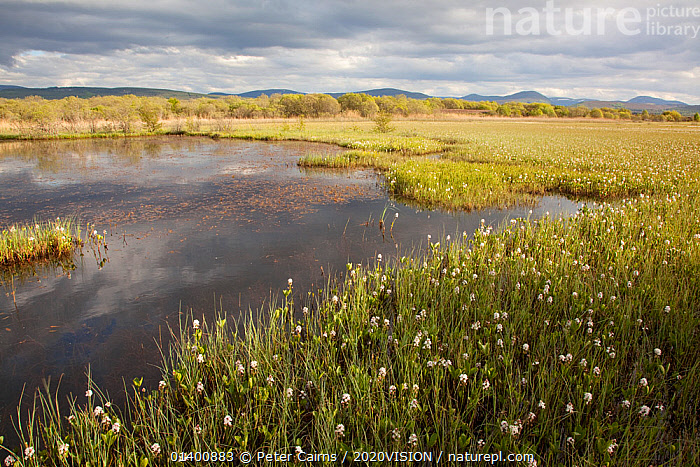 Bogbean / Buckbean (Menyanthes trifoliata) flowering in pool system. Insh Marshes, Scotland, May.  ,  2020VISION,BOGS,DICOTYLEDONS,EUROPE,FLOWERS,LANDSCAPES,MENYANTHACEAE,PEATLAND,PEATLANDS,PLANTS,SCOTLAND,UK,UPLANDS,WETLANDS,United Kingdom,2020cc  ,  Peter Cairns / 2020VISION