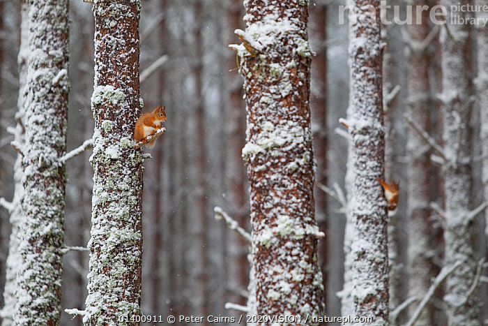 Two Red Squirrels (Sciurus vulgaris) in snowy pine forest. Glenfeshie, Scotland, January.  ,  2020VISION,EUROPE,FORESTS,HABITAT,MAMMALS,NP,RESERVE,RODENTS,SCIURIDAE,SCOTLAND,SNOW,SQUIRRELS,TWO,UK,VERTEBRATES,WOODLANDS,National Park,United Kingdom,2020cc  ,  Peter Cairns / 2020VISION