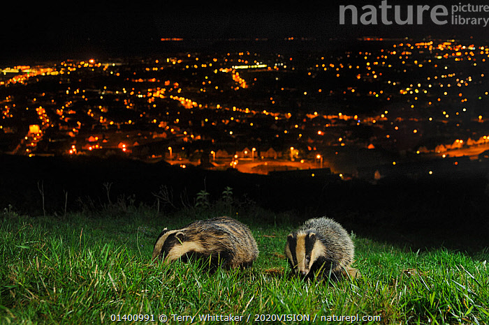 European Badgers (Meles meles) adult and juvenile on the North Downs above Folkestone, Kent, UK. Camera trap photo.  ,  2020VISION,BADGERS,CARNIVORES,ENGLAND,EUROPE,HABITAT,JUVENILE,KENT,LANDSCAPES,MAMMALS,MUSTELIDAE,NIGHT,STREETLIGHTS,TWO,UK,URBAN,VERTEBRATES,YOUNG,United Kingdom,2020cc  ,  Terry Whittaker / 2020VISION