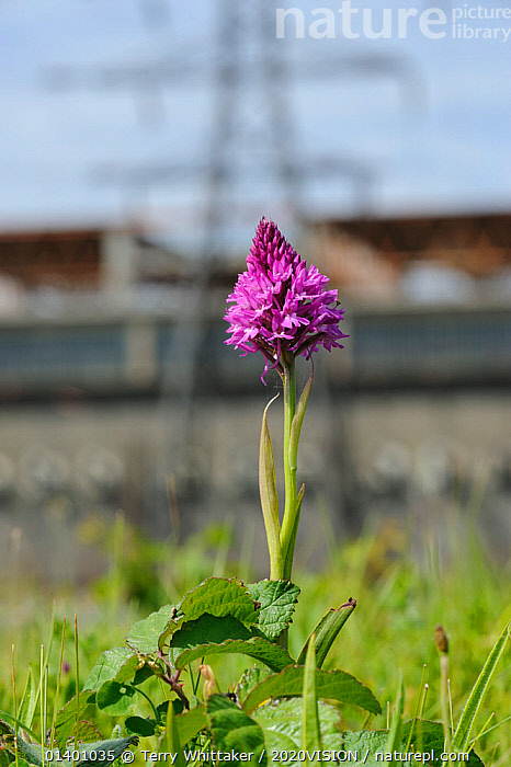Pyramidal Orchid (Anacamptis pyramidalis), on brownfield site being prepared for development. Kent, UK, June 2012.  ,  2020VISION,CONSERVATION,DEVELOPMENT,ENGLAND,EUROPE,FLOWERS,KENT,MONOCOTYLEDONS,ORCHIDACEAE,ORCHIDS,PLANTS,PURPLE,PYLONS,UK,URBAN,VERTICAL,United Kingdom,2020cc  ,  Terry Whittaker / 2020VISION