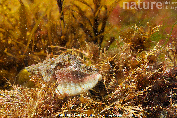 European oyster drill / Sting winkle (Ocenebra erinacea) a pest of oyster beds, on the move over Coralweed (Corallina officinalis) in a low shore rockpool, near Falmouth, Cornwall, UK, August.  ,  ENGLAND, EUROPE, GASTROPODS, INVERTEBRATES, LITTORAL, MARINE, MOLLUSCS, SNAILS, TEMPERATE, Tidal, TIDEPOOLS, UK, UNDERWATER,Intertidal,United Kingdom,Bivalve  ,  Nick Upton