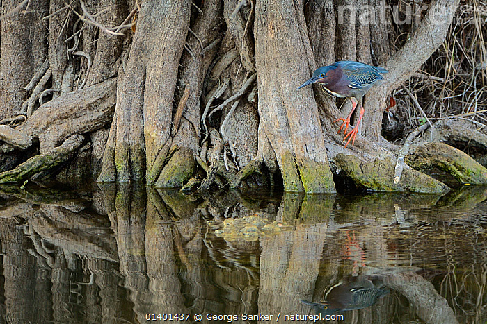 Green heron (Butorides virescens) hunting for fish, camouflaged against tree roots, Everglades National Park, Florida, USA, March  ,  ALERT,BEHAVIOUR,BIRDS,CAMOUFLAGE,HERONS,HUNTING,NORTH AMERICA,NP,RESERVE,ROOTS,TREES,USA,VERTEBRATES,WATCHING,WATER,WETLANDS,National Park,PLANTS,Catalogue5  ,  George Sanker