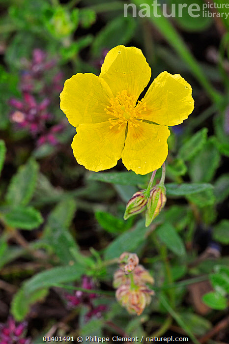 Common rockrose (Helianthemum nummularium) in flower, Ardennes, Belgium, July  ,  BELGIUM,CISTACEAE,DICOTYLEDONS,EUROPE,FLOWERING,FLOWERS,PLANTS,VERTICAL,YELLOW  ,  Philippe Clement