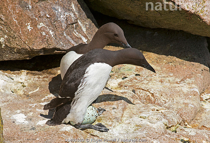 Common guillemot (Uria aalge) pair at nest, one about to incubate an egg while the other watches, Great Saltee island, Wexford, Ireland, June, AUKS,BIRDS,BREEDING,COASTS,EGGS,EIRE,EUROPE,INCUBATING,IRELAND,MALE FEMALE PAIR,MARINE,MURRE,NESTING BEHAVIOUR,NESTS,PARENTAL,REPRODUCTION,SEABIRDS,VERTEBRATES, Roger Powell
