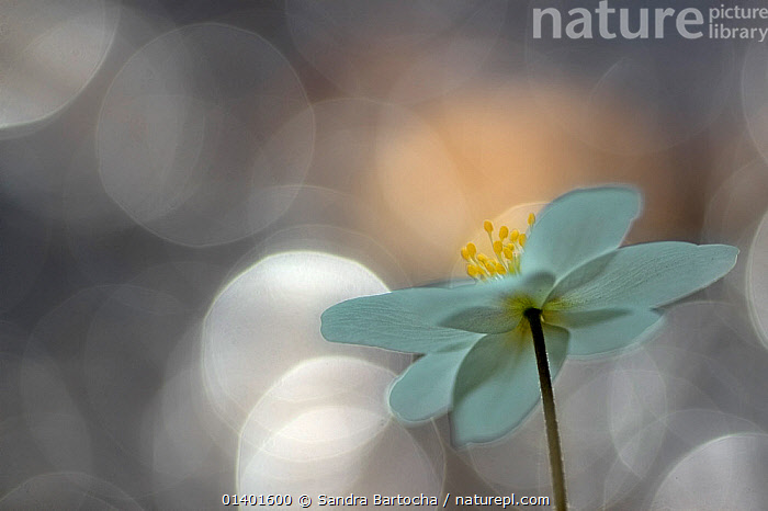 Wood Anemone (Anemone nemorosa) flower abstract, Hoher Fläming nature reserve, Brandenburg, Germany  ,  ABSTRACT,ARTY SHOTS,BOKEH,CLOSE UPS,DICOTYLEDONS,EUROPE,FLOWERS,PLANTS,RANUNCULACEAE,Catalogue5,,Beauty in nature,,,beauty in nature,  ,  Sandra Bartocha