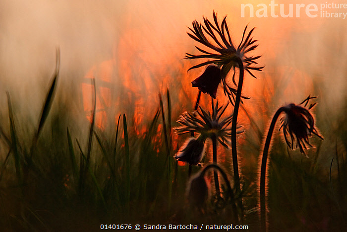 Pasque Flower (Pulsatilla pratensis) silhouetted  Landkreis Demmin, Mecklenburg-Vorpommern, Germany, April  ,  ARTY SHOTS,DICOTYLEDONS,EUROPE,FLOWERS,GERMANY,PASQUE FLOWERS,PLANTS,RANUNCULACEAE,SILHOUETTES  ,  Sandra Bartocha