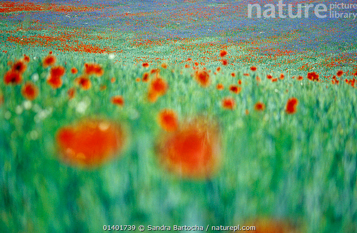 Common Poppy (Papaver rhoeas) flowers impression in field, Neubrandenburg, Mecklenburg Western Pommerania, Germany, ABSTRACT,beauty in nature,Blurred,catalogue5,DICOTYLEDONS,EUROPE,Field,FLOWERS,focus on background,GERMANY,GROWTH,meadow,Mecklenburg,nature,Neubrandenburg,Nobody,outdoors,PAPAVERACEAE,PLANTS,Pommerania,RED,selective focus,soft focus,wildlfowers,Concepts, Sandra Bartocha