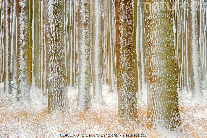 English oaks (Quercus robur) trees with snow on trunks, Gespensterwald / Ghost wood, Nienhagen, Germany, January, BARK,DICOTYLEDONS,EUROPE,FAGACEAE,GERMANY,PLANTS,SNOW,TREES,TRUNKS,WINTER,Catalogue5, Sandra Bartocha