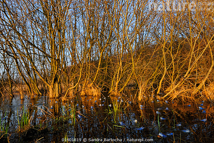Moor Frog (Rana arvalis) group with males in breeding colouration with Crack Willow (Salix fragilis) trees at the waters edge, Germany, April  ,  AMPHIBIANS,ANURA,EUROPE,FRESHWATER,FROGS,GERMANY,GROUPS,VERTEBRATES,WATER,WETLANDS,WILLOWS  ,  Sandra Bartocha