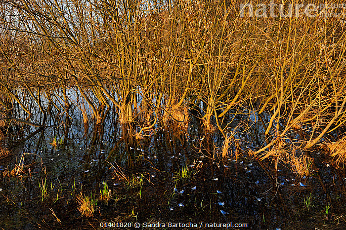 Moor Frog (Rana arvalis) group with males in breeding colouration and Crack Willow (Salix fragilis) trees at the waters edge, Germany, April  ,  AMPHIBIANS,ANURA,EUROPE,FRESHWATER,FROGS,GERMANY,GROUPS,HABITAT,VERTEBRATES,WATER,WETLANDS,WILLOWS  ,  Sandra Bartocha