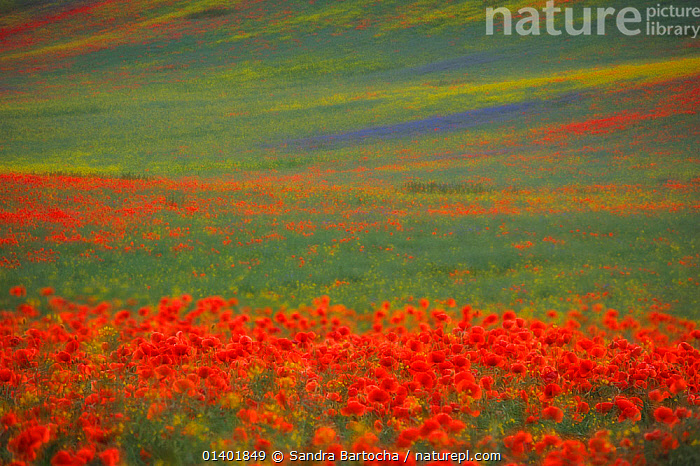 Corn Poppy (Papaver rhoeas) in flower amongst flowering Rapeseed (Brassica napus) crop, Muritz, Mecklenburg-Vorpommern, Germany, June  ,  ABSTRACT,DICOTYLEDONS,EUROPE,GERMANY,LANDSCAPES,PAPAVERACEAE,PLANTS,RED,SELECTIVE FOCUS,SOFT FOCUS,YELLOW  ,  Sandra Bartocha