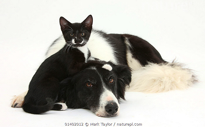 Black-and-white Border Collie bitch, with black-and-white tuxedo kitten, 10 weeks old. NOT AVAILABLE FOR BOOK USE  ,  BLACK,BLACK AND WHITE,CANIDAE,CATS,COLOUR COORDINATED,CUTE,CUTOUT,DOGS,FRIENDS,MEDIUM DOGS,MIXED SPECIES,PASTORAL DOGS,PETS,VERTEBRATES,WHITE,WHITE BACKGROUND,Canids  ,  Mark Taylor