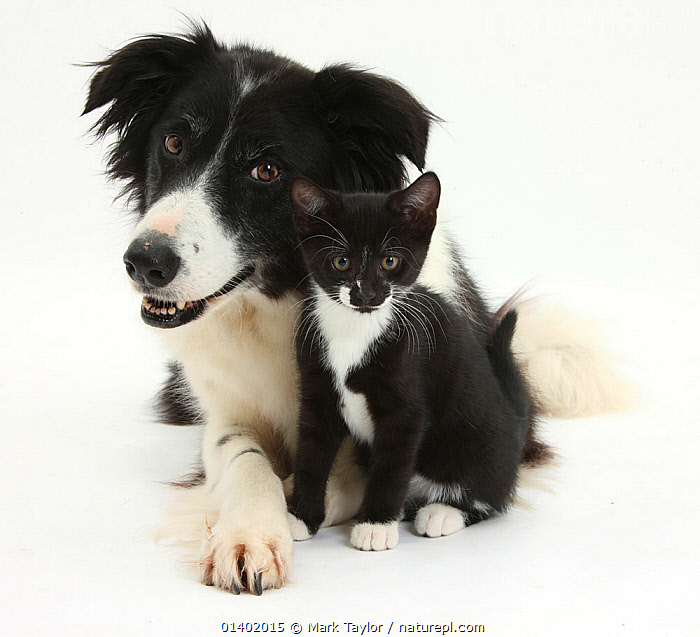 Black-and-white Border Collie bitch, with black-and-white tuxedo kitten, 10 weeks NOT AVAILABLE FOR BOOK USE  ,  BLACK,BLACK AND WHITE,CANIDAE,CATS,COLOUR COORDINATED,CUTE,CUTOUT,DOGS,FRIENDS,MEDIUM DOGS,MIXED SPECIES,PASTORAL DOGS,PETS,VERTEBRATES,WHITE,WHITE BACKGROUND,Canids  ,  Mark Taylor