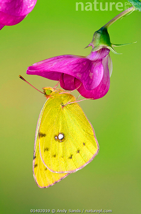 Clouded yellow butterfly (Colias crocea) On Wild sweet pea flower, Captive, UK, July  ,  animal marking,ARTHROPODS,bright colour,BUTTERFLIES,catalogue5,CLOSE UPS,colour,contrasting,contrasts,EUROPE,FEEDING,FLOWERS,INSECTS,INVERTEBRATES,LEPIDOPTERA,nature,Nobody,one animal,outdoors,PINK,PORTRAITS,PROFILE,side view,sweetpea,UK,VERTICAL,Wildflower,WILDLIFE,WINGS,YELLOW,United Kingdom  ,  Andy Sands
