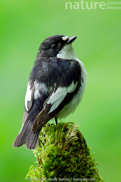 Pied Flycatcher (Ficedula hypoleuca) male perched on mossy stump, Wales, UK, June  ,  BIRDS,EUROPE,FLYCATCHERS,MALES,MUSCICAPIDAE,PORTRAITS,SONGBIRDS,UK,VERTEBRATES,VERTICAL,United Kingdom  ,  Andy Sands