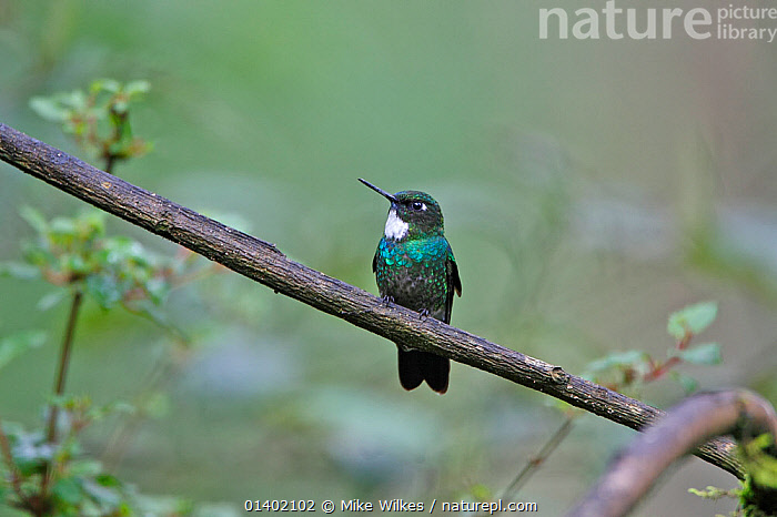 Tourmaline sunangel (Heliangelus exortis) perched on branch, Papallacta, Ecuador  ,  BIRDS,ECUADOR,GREEN,HUMMINGBIRD,HUMMINGBIRDS,PORTRAITS,SOUTH AMERICA,TROPICAL,VERTEBRATES  ,  Mike Wilkes