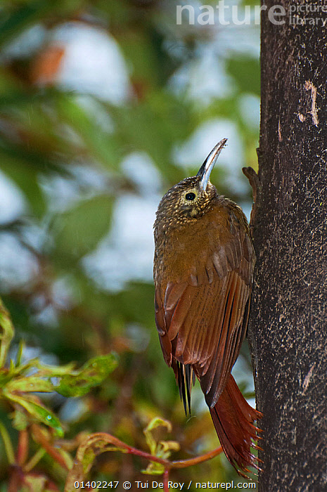 Long tailed woodcreeper (Deconychura longicauda) on tree trunk, San Isidro, Eastern Slope Tropical Andes, Andean Cloud Forest, East slope, Ecuador  ,  Andes,BIRDS,CLOUD FOREST,Ecuador,passerine,PORTRAITS,SOUTH AMERICA,TREES,TROPICAL,TRUNKS,VERTEBRATES,VERTICAL,WOODCREEPERS,PLANTS  ,  Tui De Roy