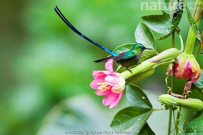 Violet tailed sylph (Aglaiocercus coelestis) Guango private reserve, Papallacta Valley, Andean Cloud Forest, East slope, Ecuador  ,  Andes,BIRDS,CLOUD FOREST,Ecuador,FLOWERS,Hummingbird,HUMMINGBIRDS,PROFILE,SOUTH AMERICA,tail feathers,TAILS,TROPICAL,tropics,VERTEBRATES  ,  Tui De Roy