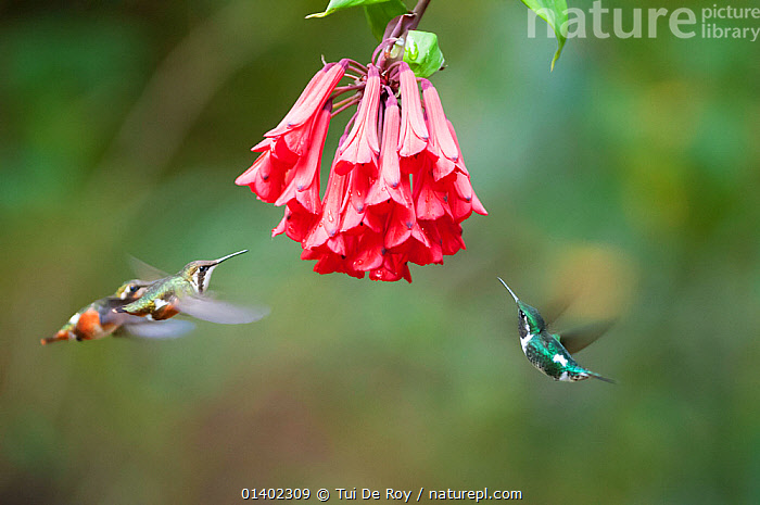 White bellied woodstar (Chaetocercus mulsant) three hovering around red flowers, Guango private reserve, Papallacta Valley, Andean Cloud Forest, East slope, Ecuador  ,  Andes,BEATING,BIRDS,Blurred,CLOUD FOREST,Ecuador,FEEDING,Flapping,flight,FLOWERS,FLYING,GROUPS,HIGHLANDS,hovering,Hummingbird,HUMMINGBIRDS,motion,SOUTH AMERICA,THREE,TROPICAL,tropics,VERTEBRATES,WINGS,Catalogue5  ,  Tui De Roy