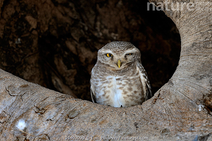 Spotted owlet (Athene brama) sitting in tree, India, March  ,  ASIA,BIRDS,BIRDS OF PREY,INDIA,INDIAN SUBCONTINENT,MOTTLED,OWLS,STRIGIDAE,VERTEBRATES  ,  Loic Poidevin