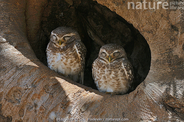 Spotted owlets (Athene brama) two sitting in tree nest, Kanha National Park, Madhya Pradesh, India, March  ,  ASIA,BIRDS,BIRDS OF PREY,INDIA,INDIAN SUBCONTINENT,NATIONAL PARK,NP,OWLS,RESERVE,STRIGIDAE,TWO,VERTEBRATES  ,  Loic Poidevin