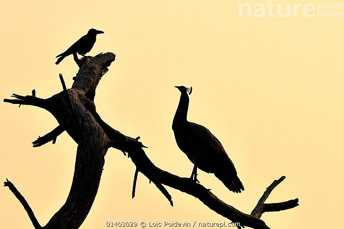 Common peafowl (Pavo cristatus) silhouetted at dawn, with House crow, Keoladeo Ghana National Park, Bharatpur, Rajasthan, India, March  ,  ASIA,BIRDS,COPYSPACE,CROWS,DAWN,GALLIFORMES,INDIA,INDIAN SUBCONTINENT,MIXED SPECIES,NATIONAL PARK,NP,OUTLINE,PEACOCK,PROFILE,RESERVE,SILHOUETTES,SUNRISE,VERTEBRATES,Catalogue5,,UNESCO World Heritage Site  ,  Loic Poidevin