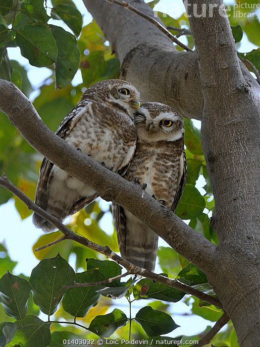 Spotted owlets (Athene brama) two huddled in tree, Keoladeo Ghana National Park, Bharatpur, Rajasthan, India, March  ,  AFFECTIONATE,ASIA,BIRDS,BIRDS OF PREY,CUTE,HUDDLED,INDIA,INDIAN SUBCONTINENT,NATIONAL PARK,NP,OWLS,RESERVE,SPOTTED,STRIGIDAE,TWO,VERTEBRATES,VERTICAL,,UNESCO World Heritage Site,  ,  Loic Poidevin
