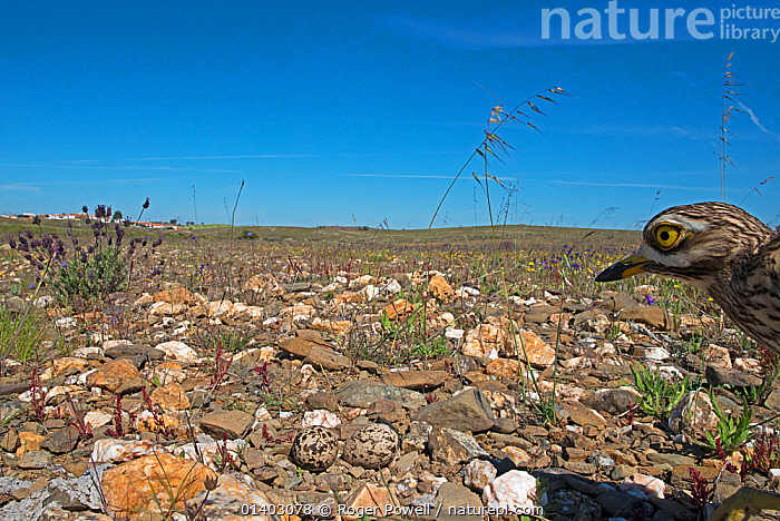 Stone curlew (Burhinus oedicnemus) approaching nest of two eggs, Guerreiro, Castro Verde, Alentejo, Portugal, April, Alentejo,BIRDS,blue sky,Breeding,CAMOUFLAGE,Castro Verde,catalogue5,curiosity,EGGS,EUROPE,exploration,FACES,Guerreiro,HABITAT,HEADS,horizon,horizon over land,nesting behaviour,NESTS,Nobody,one animal,outdoors,PORTUGAL,PROFILE,REPRODUCTION,side view,STEPPE,stone,STONE CURLEWS,VERTEBRATES,WILDLIFE,Grassland,Plovers,Waders, Roger Powell