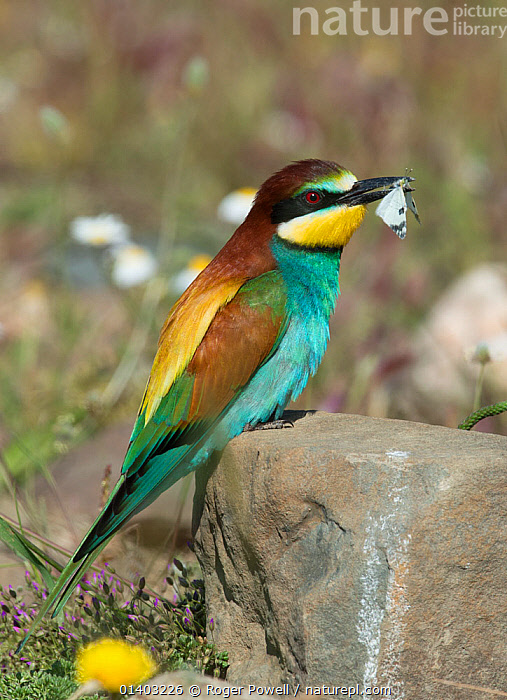 European Bee-eater (Merops apiaster) with a Small White butterfly (Pieris rapae) a courtship gift for a female. Alentejo, Portugal, April.  ,  BEE EATERS,BEHAVIOUR,BIRDS,BUTTERFLIES,COURTSHIP,EUROPE,FOOD,INSECTS,MEROPIDAE,PORTUGAL,PREDATION,VERTEBRATES,VERTICAL,Invertebrates  ,  Roger Powell