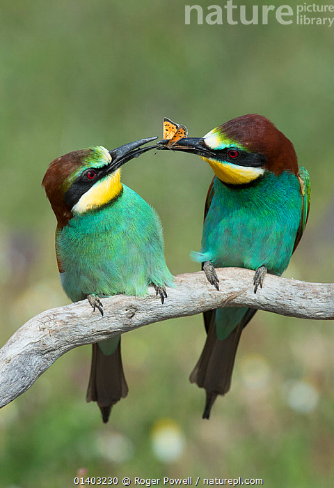 European Bee-eater (Merops apiaster) courting a female by offering her a Small Copper butterfly (Lycaena phlaeas).  Alentejo, Portugal, April., BEE EATERS,BEHAVIOUR,BIRDS,BUTTERFLIES,COURTSHIP,EUROPE,FEEDING,FOOD,FRIENDS,INSECTS,KISSING,MALE FEMALE PAIR,MATING BEHAVIOUR,MEROPIDAE,PORTUGAL,PREDATION,ROMANTIC,TWO,VERTEBRATES,Invertebrates,Catalogue5, Roger Powell