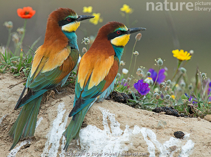 Pair of European Bee-eater (Merops apiaster) on a bank above their nest hole in front of flowers. Note regurgitated pellets of insect remains. Alentejo, Portugal, April., BEE EATERS,BEHAVIOUR,BIRDS,COURTSHIP,EUROPE,FLOWERS,FRIENDS,MALE FEMALE PAIR,MEROPIDAE,PORTUGAL,REAR VIEW,TWO,VERTEBRATES, Roger Powell