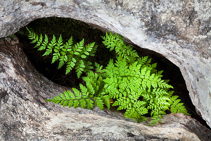 Brittle Bladder / Common Fragile Fern (Cystopteris fragilis) growing in protective gryke in limestone pavement, Yorkshire Dales, UK. April.  ,  COMMON FRAGILE FERN,ENGLAND,EUROPE,FERNS,FILIX FRAGILIS,PLANTS,PTERIDOPHYTES,UK,United Kingdom,,Beauty in nature,,,beauty in nature,  ,  Alex Hyde