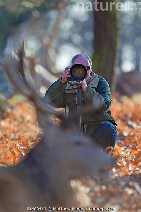 Wildlife photographer Tony Heald photographing Red deer in Richmond Park, London, UK January 2012. Model released.  ,  ANTLERS,catalogue5,crouching down,DEER,ENGLAND,equipment,EUROPE,Focus,focus on background,hobbies,LEISURE,london,MALES,MAMMALS,MAN,mid adult,one animal,one man only,one person,outdoors,Parks,PEOPLE,photographer,photographing,PHOTOGRAPHY,public park,red deer,Richmond Park,selective focus,Tony Heald,UK,VERTICAL,WILDLIFE,WINTER,WOODLANDS,United Kingdom  ,  Matthew Maran