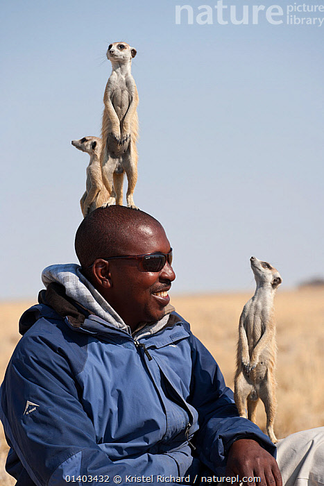 Wild meerkats (Suricata suricatta) habituated to humans acting as sentry and standing alert on local guide's head for height, Makgadikgadi Pans, Kalahari desert, Botswana. No release available.  ,  AFRICA,ALERT,CARNIVORES,GROUPS,HAPPY,HERPESTIDAE,HUMOROUS,INTERACTIONS,LOOK OUT,LOOKOUT,MAMMALS,MONGOOSES,PEOPLE,SENTRY,SOUTHERN AFRICA,SURICATE,VERTEBRATES,VERTICAL,Concepts,Catalogue5 , suricates  ,  Kristel Richard