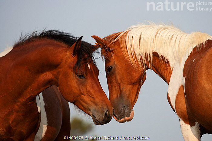 Wild Chincoteague (Equus caballus) two breeding stallions greeting one another, Chincoteague National Wildlife Refuge, Chincoteague Island, Virginia, USA, June  ,  AFFECTIONATE,BEHAVIOUR,BREEDS,EQUIDAE,FACES,HEADS,HORSES,INTERACTION,MALES,MAMMALS,NORTH AMERICA,PERISSODACTYLA,PROFILE,RARE BREED,REFUGE,RESERVE,SOCIAL BEHAVIOUR,STALLIONS,TWO,USA,VERTEBRATES,WILD,Equines  ,  Kristel Richard