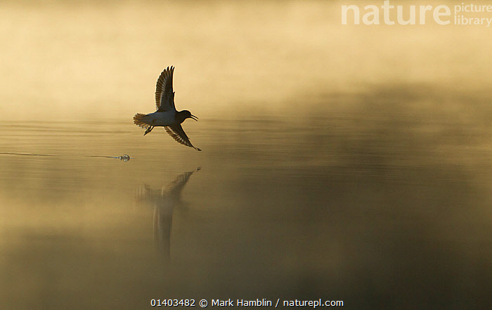 Common sandpiper (Actitis hypoleucos) adult in flight over misty loch at dawn. Cairngorms National Park, Scotland, UK. Highly commended, 'Habitat' category, British Wildlife Photography Awards (BWPA) competition 2012.  ,  2020VISION,ATMOSPHERIC,BIRDS,BWPA BOOK 2012,CALM,DAWN,EUROPE,FLYING,LAKES,REFLECTIONS,SANDPIPERS,SCOTLAND,SILHOUETTES,UK,VERTEBRATES,WADERS,United Kingdom,2020cc  ,  Mark Hamblin