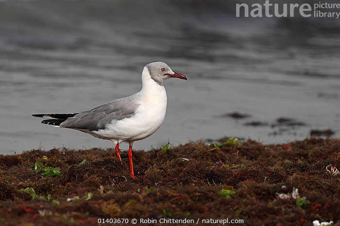 Grey headed Gull (Chroicocephalus cirrocephalus) on shoreline, Western Division, Gambia, March, AFRICA, BIRDS, COASTS, gambia, GULLS, Laridae, MARINE, PROFILE, sea, SEABIRDS, shoreline, VERTEBRATES, WATER, WEST-AFRICA, Robin Chittenden