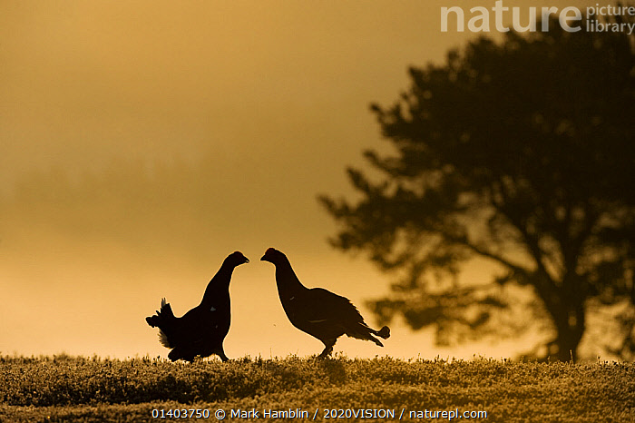 Silhouette of two male Black grouse (Tetrao tetrix) displaying at lek at dawn, Cairngorms NP, Grampian, Scotland, UK, April. 2020VISION Book Plate.  ,  2020VISION,2020vision book plate,BEHAVIOUR,BIRDS,blackcock,COURTSHIP,DAWN,DISPLAY,EUROPE,GALLIFORMES,GAME BIRDS,GROUSE,HIGHLANDS,hills,MALES,MATING BEHAVIOUR,MOORLAND,NP,Phasianidae,RESERVE,SCOTLAND,SILHOUETTES,two,UK,UPLANDS,VERTEBRATES,Communication,National Park,United Kingdom,2020cc  ,  Mark Hamblin / 2020VISION
