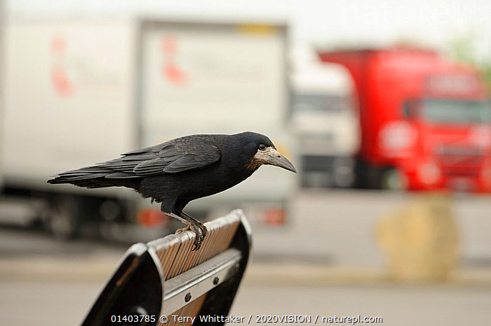 Rook (Corvus frugilegus) perched in motorway service area, Midlands, England, UK, April. 2020VISION Book Plate., 2020VISION,2020vision book plate,BIRDS,corvidae,CROWS,ENGLAND,EUROPE,lorries,ROADS,trucks,UK,URBAN,VEHICLES,VERTEBRATES,United Kingdom,2020cc, Terry Whittaker / 2020VISION