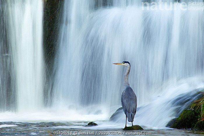 Grey heron (Ardea cinerea) beneath waterfall. Ambleside, Lake District, UK, November. Highly commended, 'Habitat' category, British Wildlife Photography Awards (BWPA) competition 2012. Did you know? In the 16th and 17th Century it was a sport to hunt heron with Peregrine falcons.  ,  ardeidae,BIRDS,BWPA book 2012,COMPETITIONS,EUROPE,HABITAT,HERONS,motion blur,NP,Rear view,RESERVE,RIVERS,UK,picday,VERTEBRATES,WATERFALLS,National Park,United Kingdom, 2020VISION, UPLANDS, HILLS,2020cc  ,  Ben Hall / 2020VISION