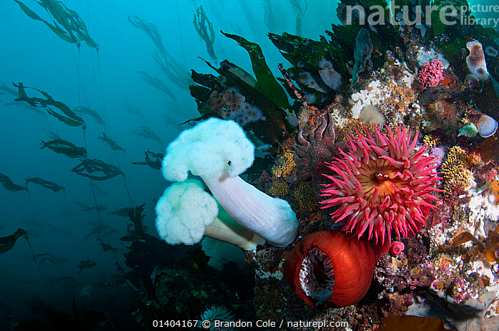 Fish eating sea anemones (Urticina piscivora) and Giant Plumose Sea Anemones (Metridium farcimen) with Bull Kelp (Nereocystis luetkeana) behind, streaming in a gentle current. Washington, USA, Pacific Ocean.  ,  algaes,anemones,ANTHOZOANS,CNIDARIANS,fish eating,INVERTEBRATES,KELP,MARINE,MIXED SPECIES,northwest,OCEAN,PACIFIC,SEA ANEMONES,TEMPERATE,UNDERWATER,USA,Plants,SEAWEED,North America  ,  Brandon Cole