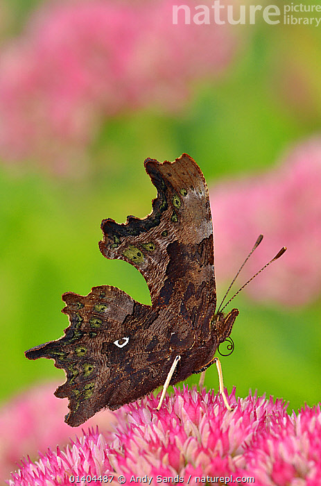 Comma butterfly (Polygonia c-album) feeding on flower of Ice plant (Sedum)  in garden, Hertfordshire, UK, September  ,  ARTHROPODS,BUTTERFLIES,ENGLAND,EUROPE,FEEDING,FLOWERS,INSECTS,INVERTEBRATES,LEPIDOPTERA,PORTRAITS,PROFILE,UK,VERTICAL,WINGS,United Kingdom,Catalogue5  ,  Andy Sands