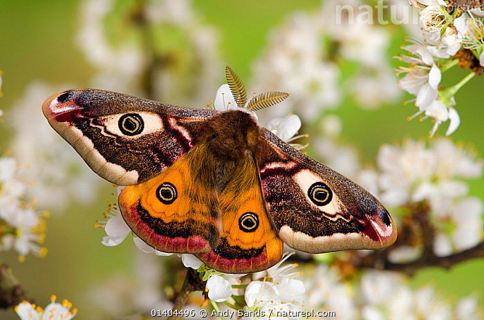 Small emperor moth (Saturnia pavonia) male with wings open showing eyespots on Blackthorn, Captive, UK, April  ,  EMPEROR-MOTHS, ENGLAND, EUROPE, eyespots, FLOWERS, INSECTS, INVERTEBRATES, LEPIDOPTERA, MALES, MOTHS, PATTERNS, PORTRAITS, UK, WINGS,United Kingdom  ,  Andy Sands