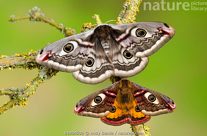 Small emperor moth (Saturnia pavonia) male (bottom)  and female with wings open showing eyespots on lichen covered twig, Captive, UK, April  ,  CUTOUT, EMPEROR-MOTHS, ENGLAND, EUROPE, eyespots, FEMALES, INSECTS, INVERTEBRATES, LEPIDOPTERA, male female pair, MALES, MOTHS, PATTERNS, PORTRAITS, UK, WINGS,United Kingdom,Catalogue5  ,  Andy Sands