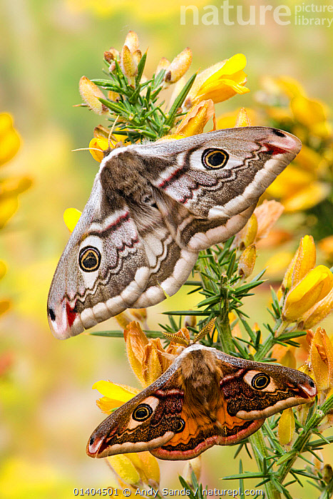 Small emperor moth (Saturnia pavonia) male below female both displaying eyespots on Gorse, Captive, UK, April  ,  animal marking,catalogue5,CLOSE UPS,contrasting,contrasts,difference,EMPEROR MOTHS,ENGLAND,EUROPE,eyespot,eyespots,FEMALES,FLOWERS,gorse,INSECTS,INVERTEBRATES,LEPIDOPTERA,male female pair,MALES,MOTHS,Nobody,outdoors,pairs,PATTERNS,PORTRAITS,SIZE,two animals,UK,VERTICAL,WILDLIFE,WINGS,wings spread,United Kingdom  ,  Andy Sands