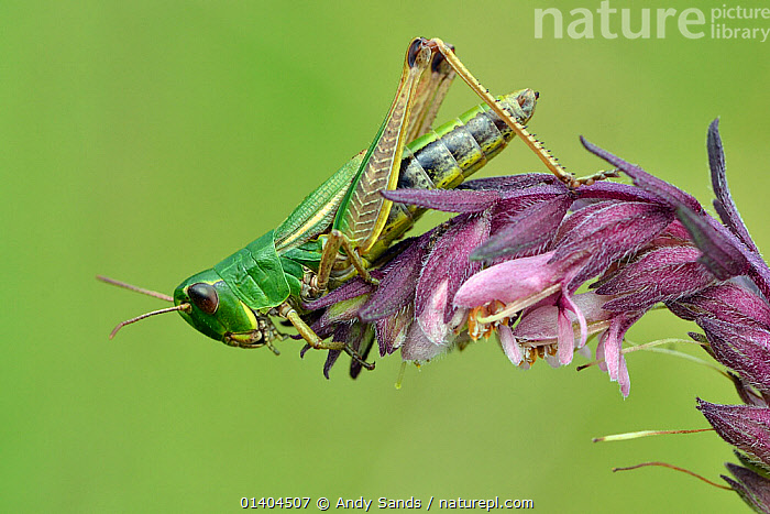 Meadow / Short Horned grasshopper (Chorthippus parallelus) portrait on flower head, Hertfordshire, England, UK, July  ,  COPYSPACE,ENGLAND,EUROPE,FLOWERS,GRASSHOPPERS,INSECTS,INVERTEBRATES,ORTHOPTERA,PORTRAITS,PROFILE,SHORT HORNED GRASSHOPPERS,UK,VERTICAL,United Kingdom  ,  Andy Sands