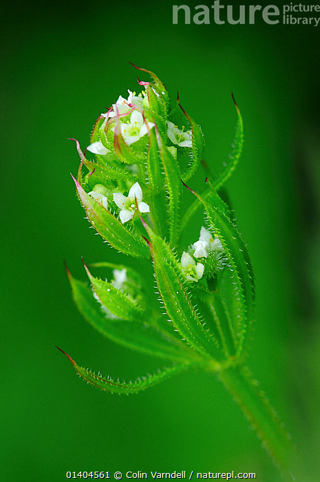 Cleavers / Goose grass (Galium aparine) in flower, Dorset, England, UK, June  ,  CLOSE UPS,DICOTYLEDONS,ENGLAND,EUROPE,FLOWERS,GREEN,PLANTS,RUBIACEAE,UK,VERTICAL,WHITE,United Kingdom,Catalogue5  ,  Colin Varndell