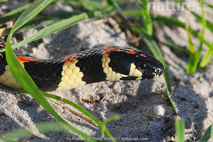 Spotted Harlequin Snake (Aspidelaps / Homoroselaps lacteus) DeHoop Nature reserve. Western Cape, South Africa  ,  AFRICA,PORTRAITS,REPTILES,RESERVE,SNAKES,SOUTH AFRICA,STRIPES,VERTEBRATES  ,  Tony Phelps