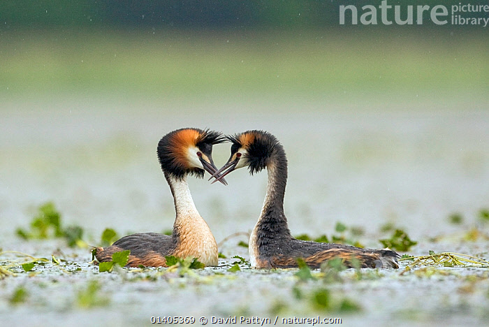 Great crested grebe (Podiceps cristatus) male and female perform courtship dance, La Dombes area, France, June, BEHAVIOUR,BIRDS,COURTSHIP,DANCING,DISPLAY,EUROPE,FRANCE,GREBES,INTERACTION,LAKES,MALE FEMALE PAIR,MATING BEHAVIOUR,PODICIPEDIDAE,VERTEBRATES,WATER,WATERFOWL,Communication, David Pattyn
